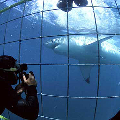 Get the adrenaline experience of a lifetime when you view the world's largest known predatory shark by Cage Diving with Shark Zone for only R875!!!
