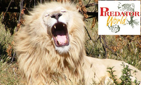 Save 78% and get close to the kings of Africa's wild at Predator World, just 5km from Sun City. Only R129 covers entrance for 2, guided tour, cheetah interaction + more (value R600)