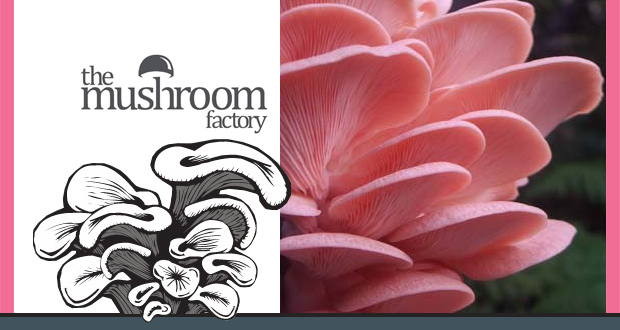 Grow your own Pink Oyster mushrooms with this cool kit from the Mushroom Factory for only R119 (value R199)(Nationwide)