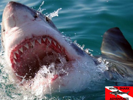 Calling All Adventurers, Are You Ready For An Extreme Great White Shark Cage Dive? Pay R850 For A Great White Shark Dive With White Shark Adventures In Gansbaai Western Cape. Includes Breakfast And Lunch. Valued At R1800. (Save 53%)
