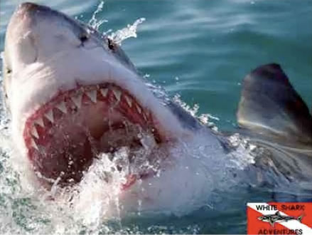 Calling All Adventurers: Are You Ready For An Extreme Great White Shark Cage Dive? Pay R850 For A Great White Shark Dive With White Shark Adventures In Gansbaai, Western Cape Including Breakfast And Lunch, valued At R1800 (53% off)