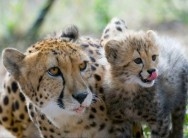 Three-hour guided tour by game drive and cheetah run at The Ann van Dyk Cheetah Centre