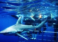 Shark cage diving with Umkomaas Lodge Dive Charters