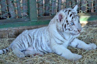 Zoo Entrance and White Tiger Cub Interaction from R195 at Mystic Monkeys and Feather Wildlife Park (Up to 55% Off)
