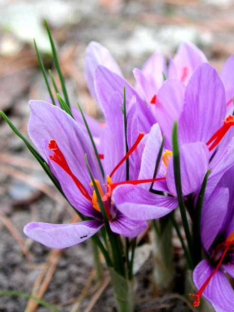 Saffron Flower Bulbs - 5 Bulbs - The Worlds Most Expensive Spice - FREE SHIPPING