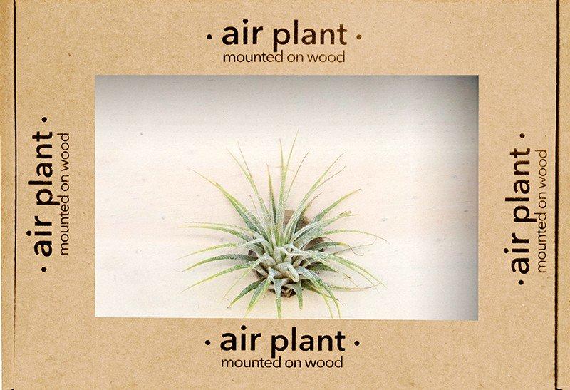 Air Plant Tillandsia Multiflora - Plain Marble