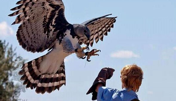 Eagle Encounters at Spier Wine Farm: Entrance Passes, Owl Encounters, Show Passes & a Personal Encounter with Wally, the Wahlberg's Eagle!