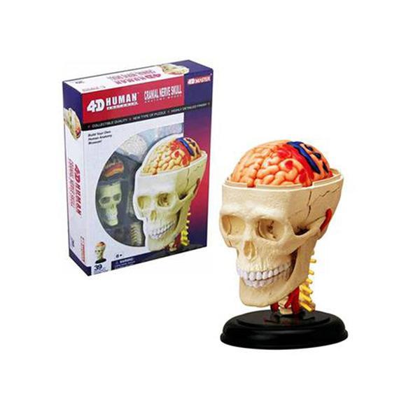Human Anatomy - Cranial nerve skull anat-Deal