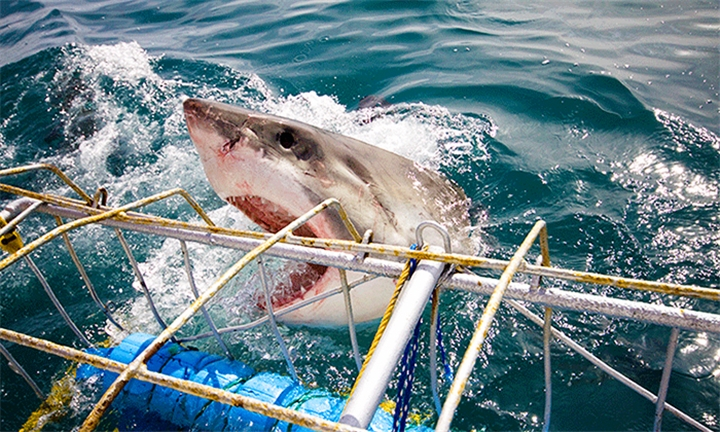 Shark Cage Diving Experience for One or Two Including Breakfast and Snacks with Shark Alley